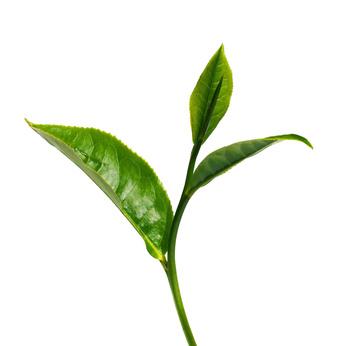 Herbaslim fitline de aviz, Tummy fat slimming ceai